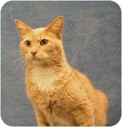 Domestic Shorthair Cat for adoption in Sacramento, California - Brody