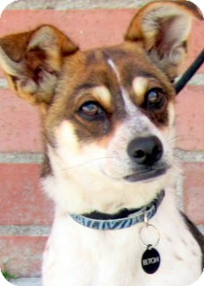 Beagle/Chihuahua Mix Puppy for adoption in Los Angeles, California - Elton *VIDEO*
