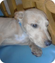 Norwegian Elkhound Mix Puppy for adoption in Jackson, Michigan - Arizona