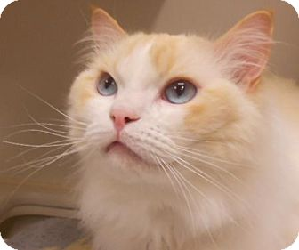 Ragdoll Cat for adoption in Maywood, New Jersey - Betty