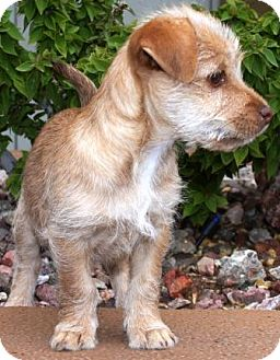Wirehaired Fox Terrier Mix Puppy for adoption in Gilbert, Arizona - Rasberri