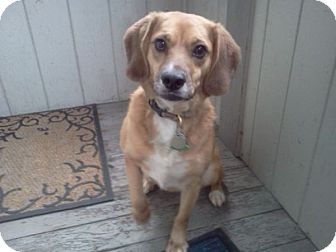Beagle Mix Dog for adoption in Freeport, Maine - Lindy