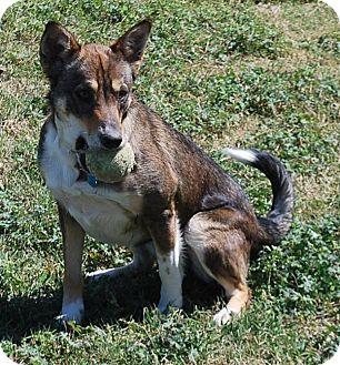 German Shepherd Dog/Husky Mix Dog for adoption in Port Lavaca, Texas - Kyra