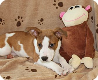 Coonhound Mix Puppy for adoption in Salem, New Hampshire - Tucker