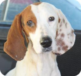 Treeing Walker Coonhound/Setter (Unknown Type) Mix Dog for adoption in Staunton, Virginia - Morgan