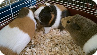 Guinea Pig for adoption in Middle Island, New York - Guinea Pigs