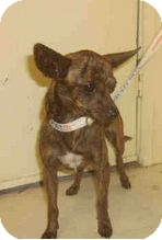 Chihuahua Mix Dog for adoption in Yuba City, California - 06/16 Unnamed