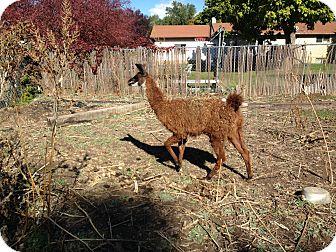 Llama for adoption in Ogden, Utah - Cora