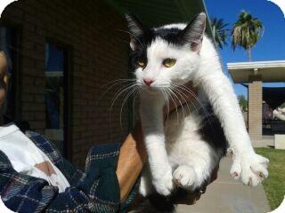 Domestic Shorthair Kitten for adoption in Chandler, Arizona - Dora