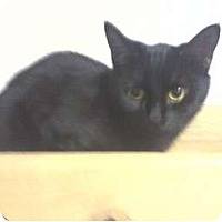 Domestic Shorthair Cat for adoption in West Plains, Missouri - Taylor