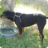 Adopt A Pet :: Nitro - Only $55 adoption fee! - Litchfield Park, AZ