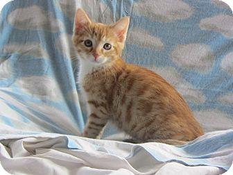 Domestic Shorthair Kitten for adoption in Ridgway, Colorado - Simba