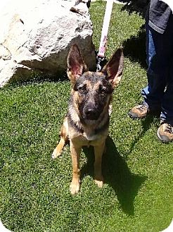 German Shepherd Dog Dog for adoption in Ogden, Utah - Marley