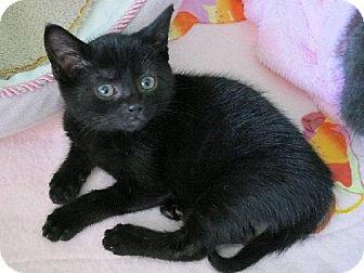 Domestic Shorthair Kitten for adoption in HILLSBORO, Oregon - Jet
