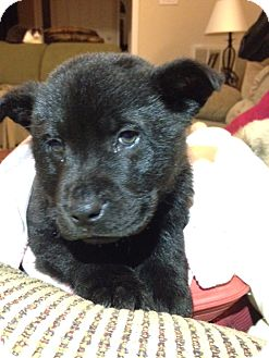 German Shepherd Dog Mix Puppy for adoption in Huntersville, North Carolina - Gus