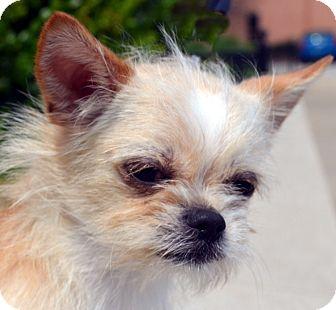 Chihuahua Mix Dog for adoption in Bridgeton, Missouri - LaTigo