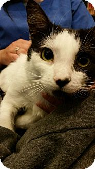 Domestic Mediumhair Cat for adoption in Morristown, New Jersey - Angelica