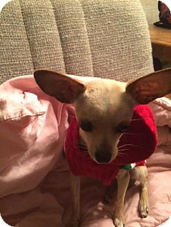 Chihuahua Puppy for adoption in Phoenix, Arizona - Ballerina 'Rini'