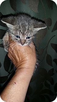 Domestic Shorthair Kitten for adoption in Bronx, New York - Tom