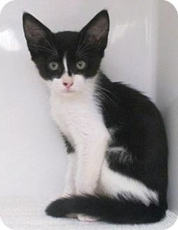 Domestic Shorthair Kitten for adoption in Red Bluff, California - Neo