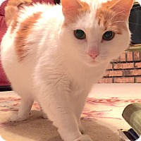 Adopt A Pet :: Chatty - St. Louis, MO