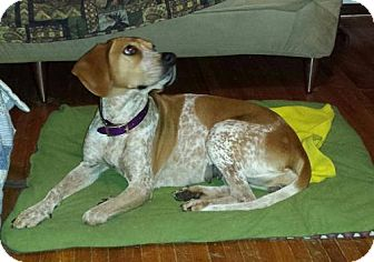 English (Redtick) Coonhound Dog for adoption in Hammond, Indiana - Nova