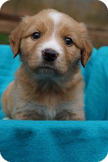 Cocker Spaniel/Golden Retriever Mix Puppy for adoption in Newark, Delaware - Rainie