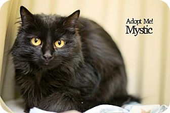 Domestic Longhair Cat for adoption in West Des Moines, Iowa - Mystick