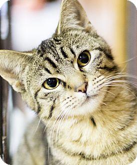 Domestic Shorthair Kitten for adoption in Chicago, Illinois - Naomi