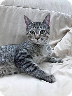 Domestic Shorthair Kitten for adoption in Maryville, Missouri - Lark