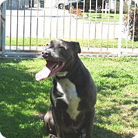 American Staffordshire Terrier/American Pit Bull Terrier Mix Dog for adoption in Bellflower, California - Cobalt aka Cobie
