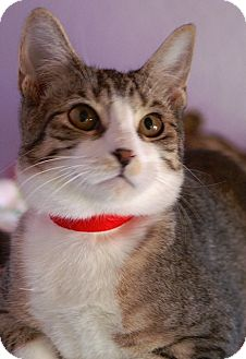 Domestic Shorthair Cat for adoption in Englewood, Florida - Simon