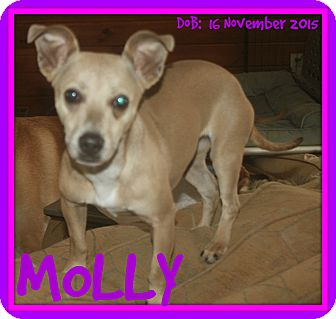 Chihuahua/Dachshund Mix Dog for adoption in White River Junction, Vermont - MOLLY