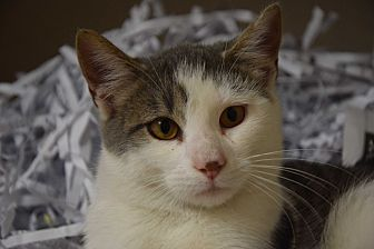 Domestic Mediumhair Cat for adoption in Pottsville, Pennsylvania - Eagle