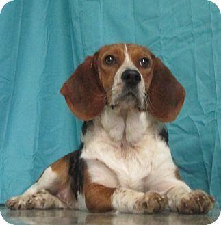 Beagle/Basset Hound Mix Dog for adoption in LaGrange, Kentucky - Susie Q