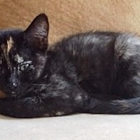 Calico Kitten for adoption in Orange, California - Bella
