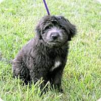 Labrador Retriever/Poodle (Standard) Mix Puppy for adoption in Hagerstown, Maryland - PUPPY BENZ