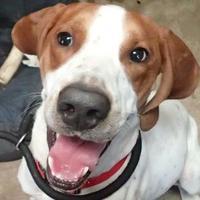 Adopt A Pet :: HUNTER - Ravenel, SC