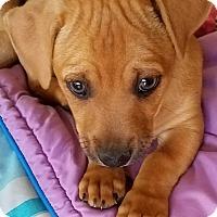 Adopt A Pet :: Tyron - Tumwater, WA