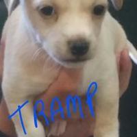 Adopt A Pet :: Tramp - Davie, FL