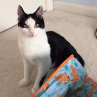 Domestic Shorthair/Domestic Shorthair Mix Cat for adoption in Ellicott City, Maryland - Oliver