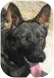 German Shepherd Dog/German Shepherd Dog Mix Dog for adoption in Dripping Springs, Texas - Calypso