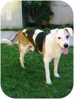 Labrador Retriever/Beagle Mix Dog for adoption in Torrance, California - Spotty
