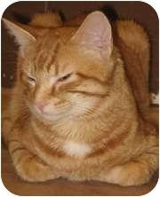 Domestic Shorthair Cat for adoption in Wheaton, Illinois - Chez