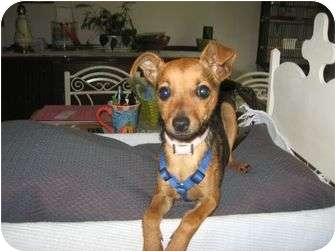 Chihuahua Mix Dog for adoption in Portland, Maine - Georgie