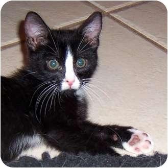 Domestic Shorthair Kitten for adoption in Oklahoma City, Oklahoma - Dude