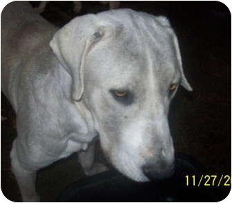 Great Dane/Mastiff Mix Dog for adoption in springtown, Texas - silly boy