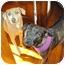 Photo 3 - Mountain Cur/Labrador Retriever Mix Dog for adoption in berwick, Maine - Lizzie