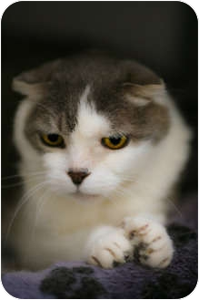 Scottish Fold Cat for adoption in Davis, California - Oliver