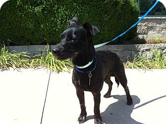 Schnauzer (Miniature) Mix Dog for adoption in Schaumburg, Illinois - Rocky
